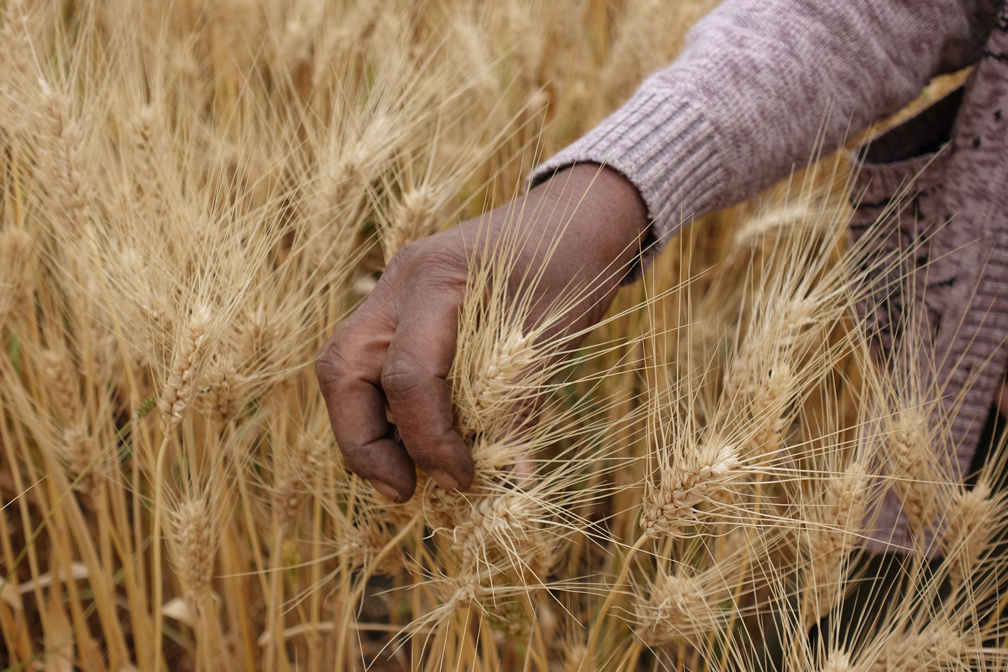 BGRI launches virtual global wheat conference