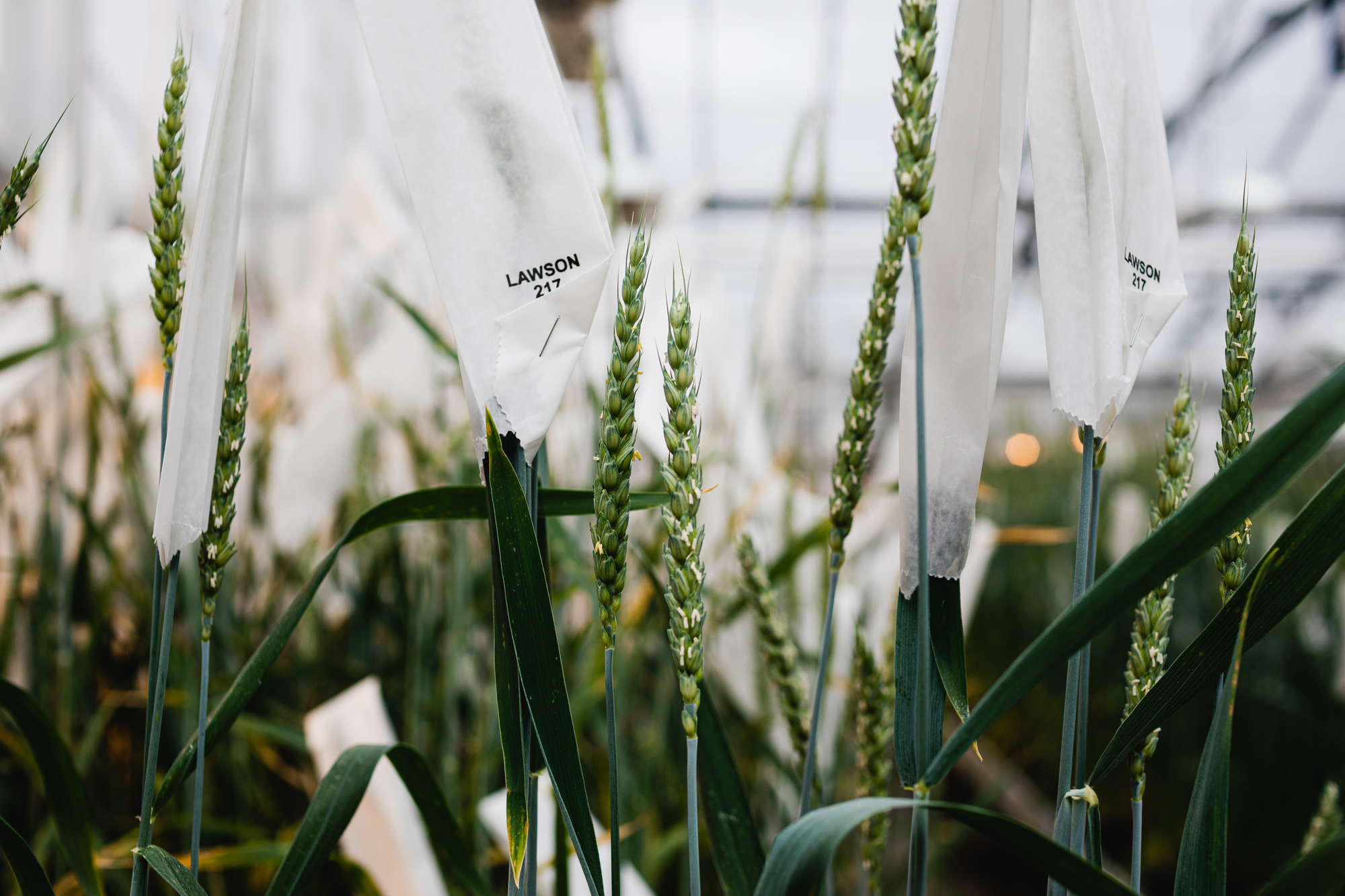 BGRI-led coalition protects world's wheat crop