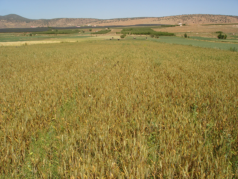The threat posed by stem rust to wheat production in Morocco is imminent