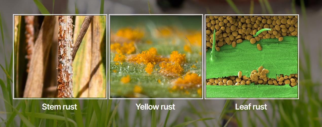 Wheat rust genomics website